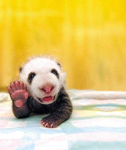 cute baby panda hello
